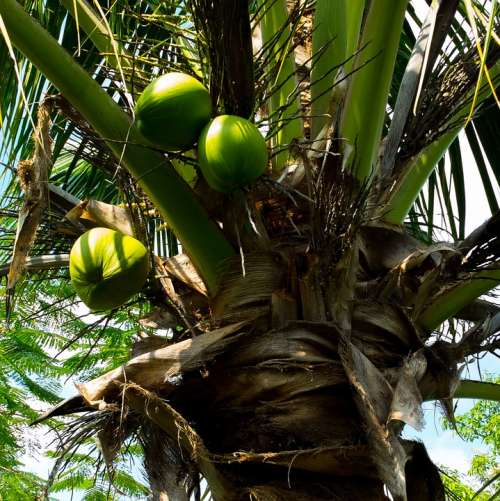 Coconut Tree Palm Coconuts