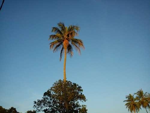 Coconut Tree Nature Blue Sky Coconut Tree Sky