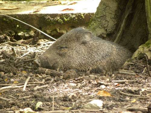 Collared Peccary Pig Gray Sleeping Sleep Animal