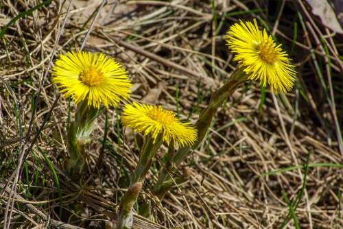Coltsfoot Spring Flower Yellow Nature