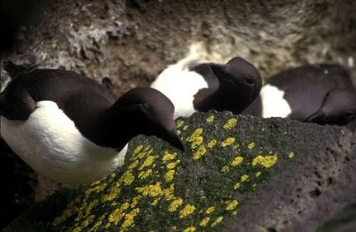 Common Murre Bird Rocks Moss Birds Close-Up Macro