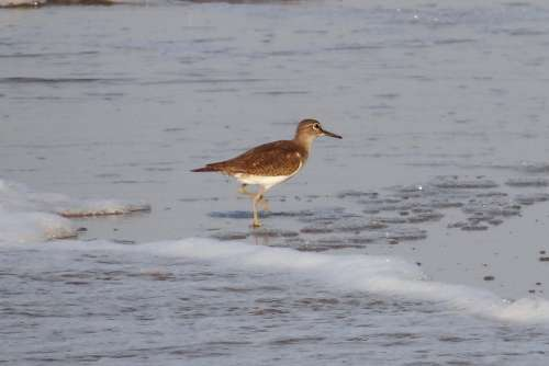 Common Sandpiper Bird Beach Wader Karwar India