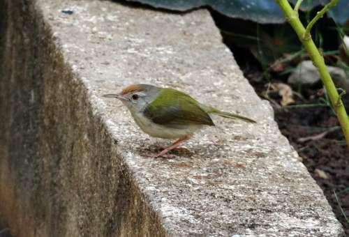 Common Tailorbird Orthotomus Sutorius Songbird Bird