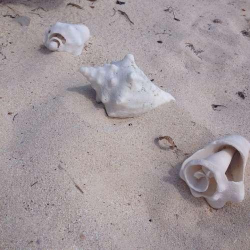 Conch Shells Beach Ocean Shells Sand