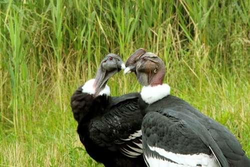 Condor Condors Andean Condor Bird Big Bird