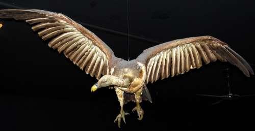 Condor Bird Of Prey Museum Natural History Verona