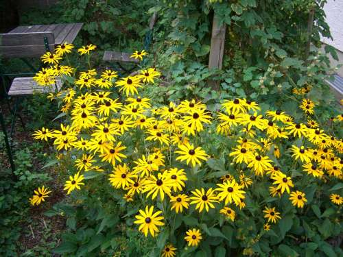 Coneflower Rudbeckia Fulgida Blossom Bloom Yellow