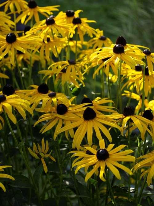 Coneflower Yellow Blossom Bloom Sunny Summer