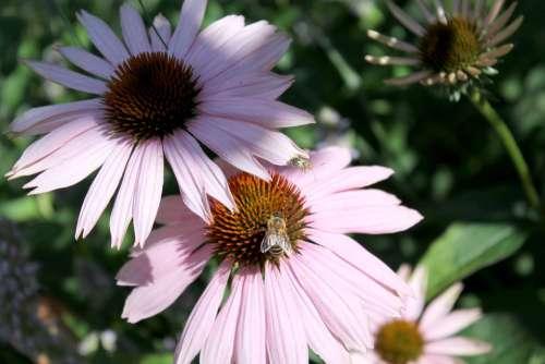 Coneflower Insect Summer Blossom Bloom Garden