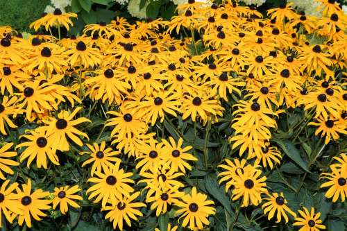 Coneflower Flowers Yellow Garden Colorful Summer
