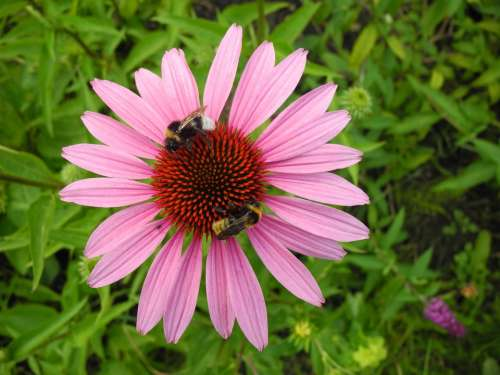 Coneflower Bumblebees Bees Pollination Nectar