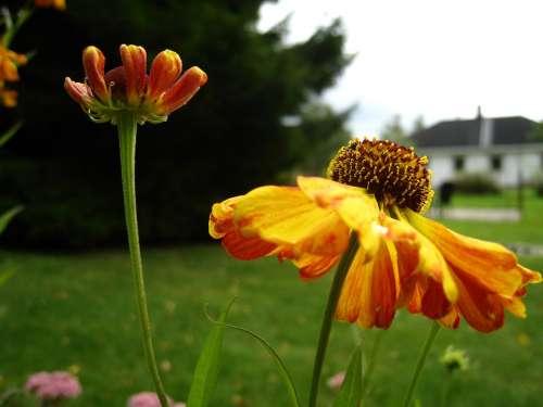 Coneflower Orange Flowers Garden House Sky Blue