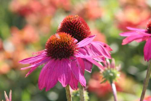 Coneflowers Flower Garden Natural Echinacea Pink