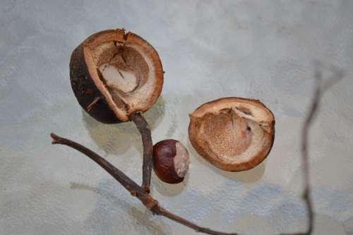 Conker Horse Chestnut Chestnut Seed Husk Close-Up
