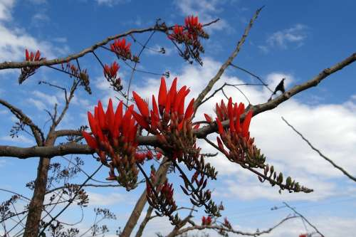 Coral Tree Sunshine Tree Flower Scarlet Red