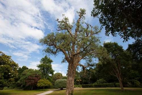 Cork Oak Quercus Suber Evergreen Broadleaf Park