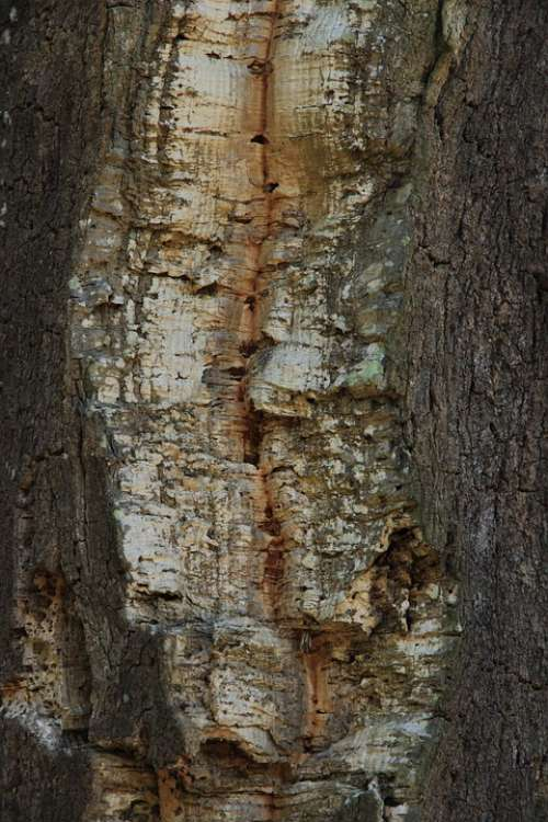 Cork Oak Tribe Tree Log Bark Tree Bark Background
