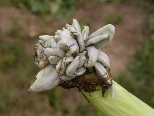 Corn Neoplasm Plant