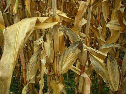 Corn Leaves Field Corn Field Dry Drought