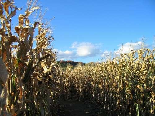 Corn Maze Fall Stalk Harvest Farm Rural