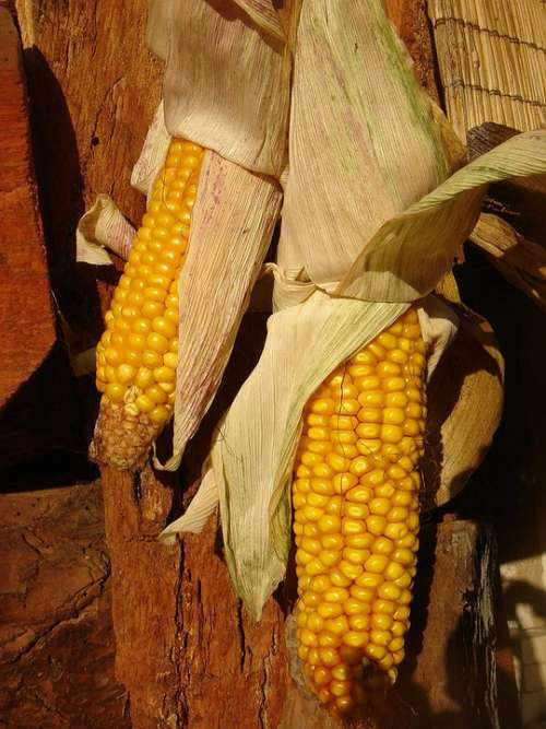 Corn Dry Harvest Autumn Decoration Yellow Ear