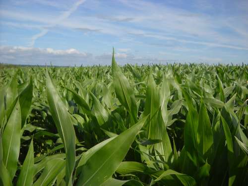 Corn Fields Agriculture