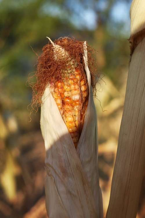 Corn Indian Corn Fall Autumn Farm Crop Harvest