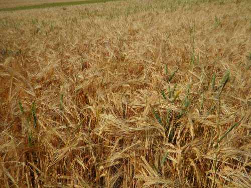 Cornfield Field Barley Cereals Summer Grow Mature