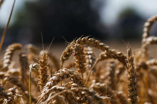 Cornfield Wheat Wheat Field Rye Grain Agriculture
