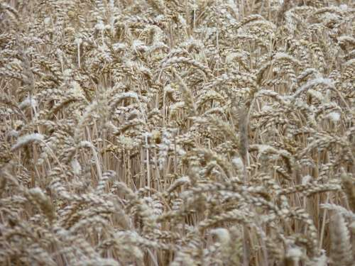 Cornfield Spike Harvest Summer Cereals Dry Field