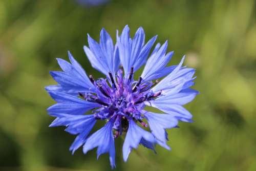Cornflower Blue Flower Pointed Flower Blossom Bloom