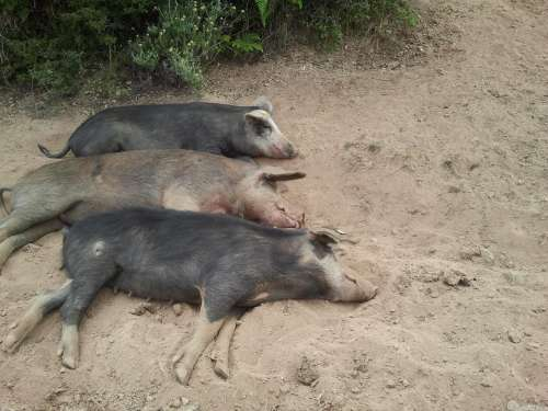 Corsica Be Lazy Pigs Animals Nature Dirty Animal