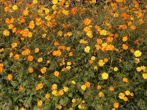 Cosmos Sulphureus Cosmos Orange Blossom