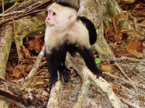 Costa Rica Jungle Monkey Wildlife Animal Creature