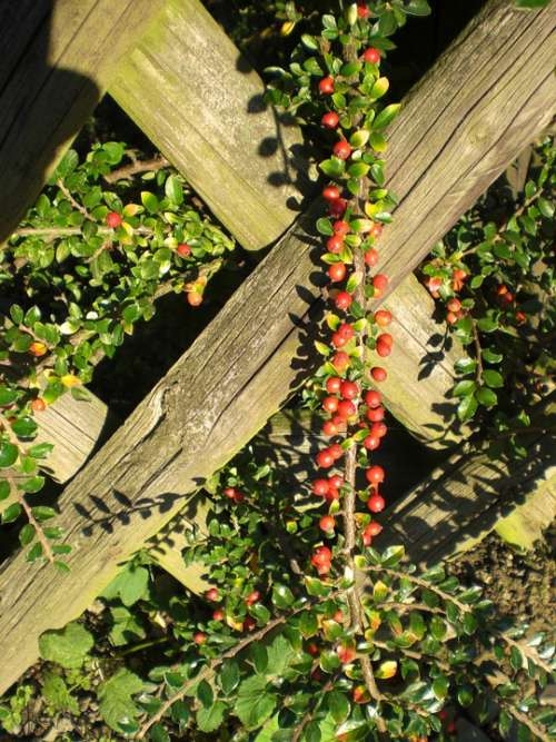 Cotoneaster Berries Plant Red Fence Ornamental