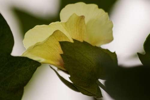 Cotton Plant Gossypium Cotton Flowers Genus Mallow