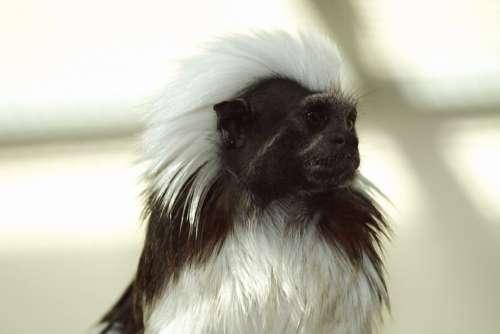 Cottontop Tamarin Krallenaffe Monkey Animal Nature