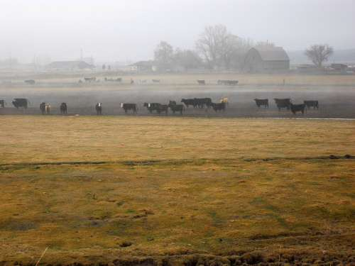 Country Rural Cattle Field Scenery Farming Scenic