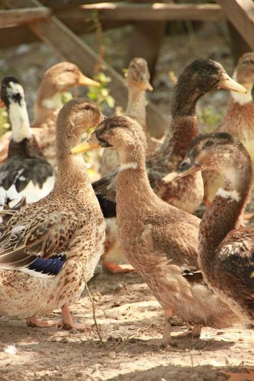 Country Ducks Eco Garden Poultry Birds