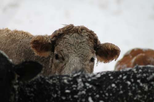 Cow Animal Farm Cold Snow Freezing Wintry Winter
