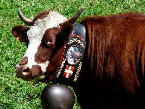 Cow Cattle Bell Alps Abundance