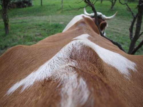 Cow Four-Legged Animal Farm Animals Hair Horn