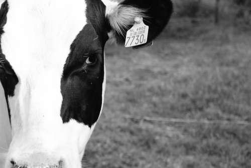 Cow Black White White Farm Black Animal Beautiful