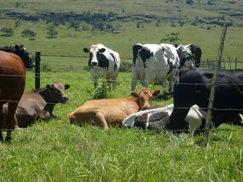 Cows Herd Roadside Grazing Nature Farming Africa