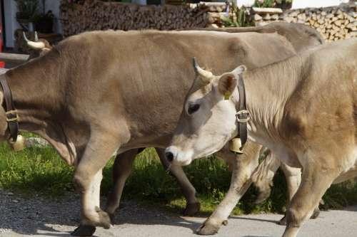 Cows Farm Homeward Bound Dairy Cattle Cow