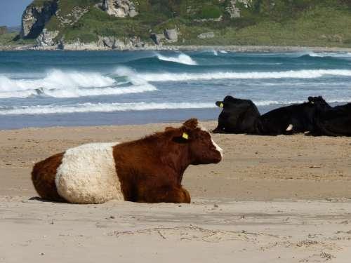 Cows Beach Sea Water