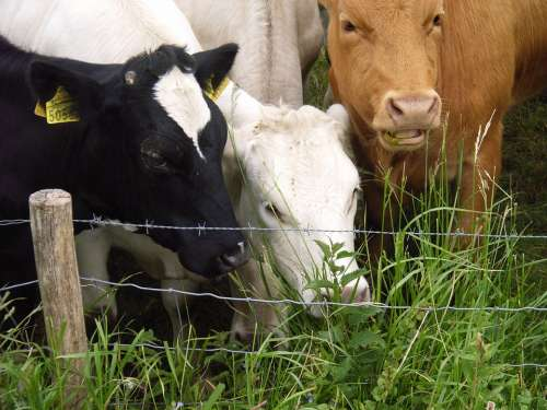 Cows Grass Whey