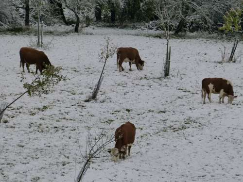 Cows Pasture Winter Snow Cold Season