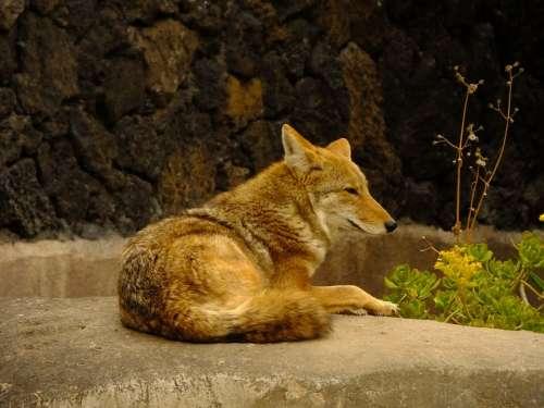 Coyote Animal Mammals Fauna