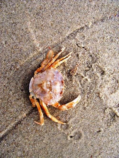 Crab Cancer Shellfish Sea Animal Meeresbewohner